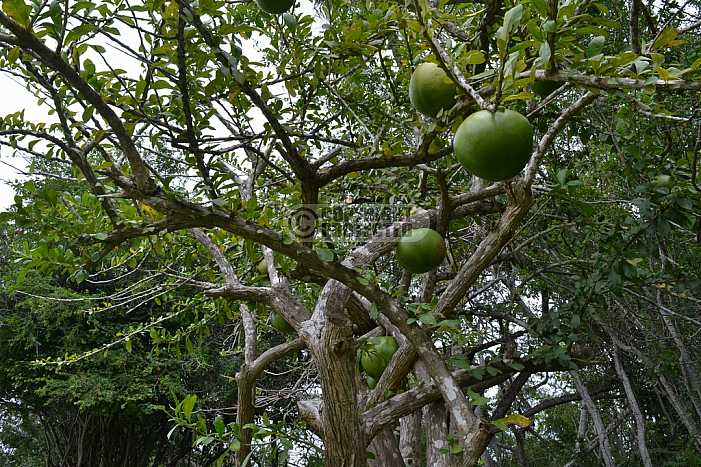 Coite - Coite frut