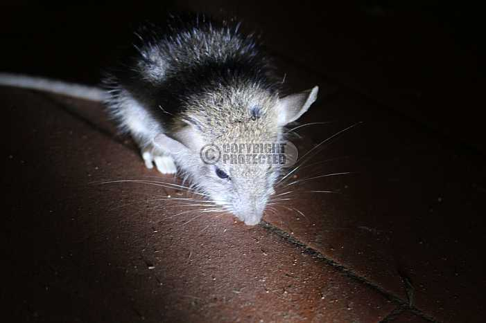 rato - Mouse