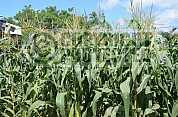 Milho - Vegetable garden
