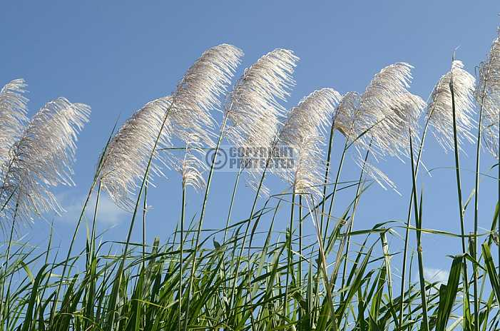 Flores de cana - Flowers cane