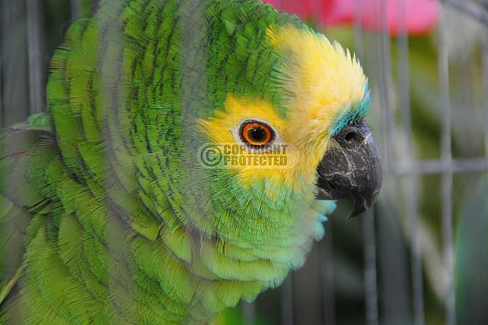 Papagaio - Parrot