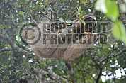 Preguica - Sloth
