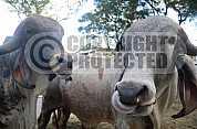 Gado - Cattle
