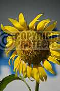 Girassol - Sunflower